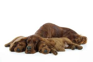 Irish Setter Mother and Puppies