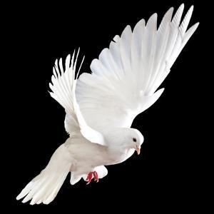 A Free Flying White Dove Isolated On A Black Background by Irochka