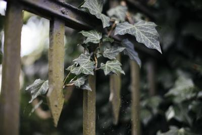 https://imgc.allpostersimages.com/img/posters/iron-fence-with-ivy_u-L-Q1EXL0Y0.jpg?artPerspective=n