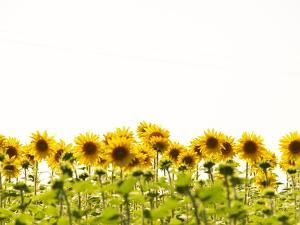 Sunflower Fields by Isabel Solano Photography (Portugal)