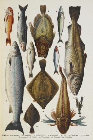 Fish. Including Red Mullet, John Dory, Mackerel, Cod, Salmon, Plaice and Crayfish by Isabella Beeton