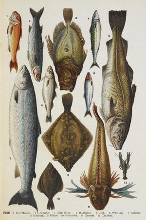 Fish. Including Red Mullet, John Dory, Mackerel, Cod, Salmon, Plaice and Crayfish