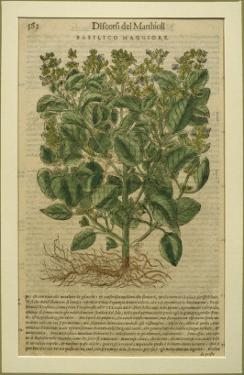 Basil, a Botanical Plate from the 'Discorsi' by Pietro Andrea Mattioli by Italian School