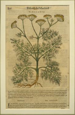 Fennel, a Botanical Plate from the 'Discorsi' by Pietro Andrea Mattioli by Italian School