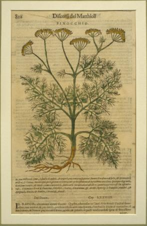 Fennel, a Botanical Plate from the 'Discorsi' by Pietro Andrea Mattioli by Italian School