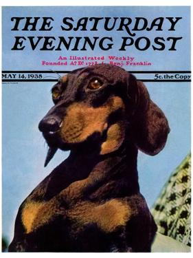 """Dachshund,"" Saturday Evening Post Cover, May 14, 1938 by Ivan Dmitri"