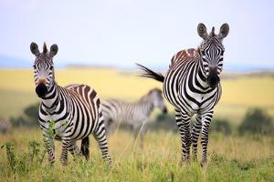 Grevy Zebra (Equus Grevyi), Maasai Mara National Reserve, Kenya by Ivan Vdovin