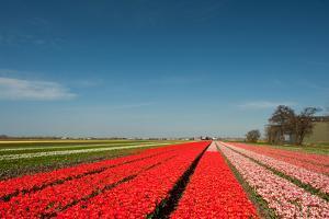 Dutch Flower Fields by Ivonnewierink