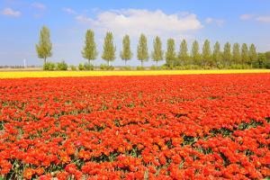 Flowerbulbs as Typical Agriculture in Holland by Ivonnewierink