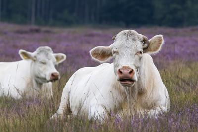 Resting Cow in Heather