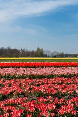 Typical Dutch Landscape with Tulips and a Windmill by Ivonnewierink