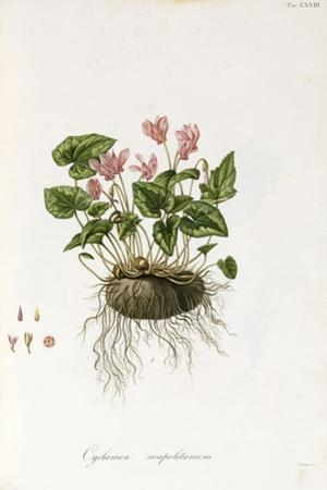 Ivy-Leaved Cyclamen - Cyclamen Neapolitanum, 1811-1838