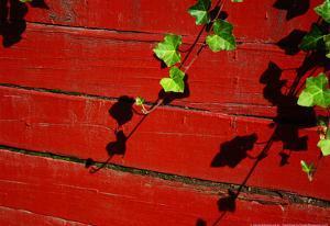 Ivy on Red Barn