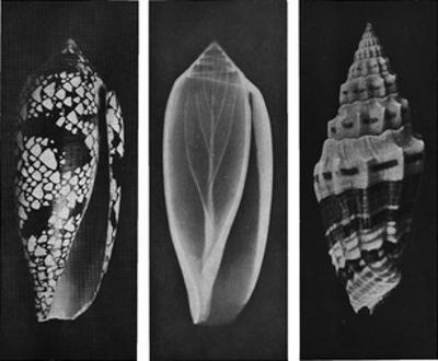 Shell Triptych