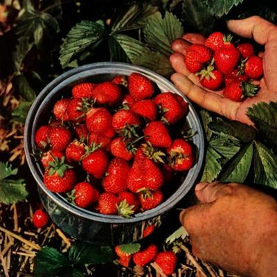 """Strawberries,""June 1, 1948"