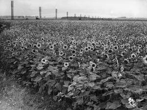 Sunflower Fields by J. Chettlburgh