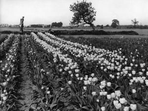 Tulip Fields by J. Chettlburgh