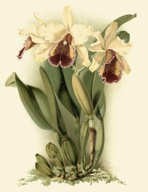 Dramatic Orchid II by J.k. Mosferlander