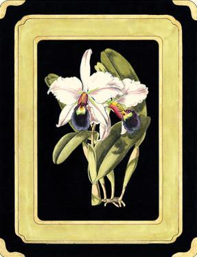 Orchids on Black I by J. Nugent Fitch