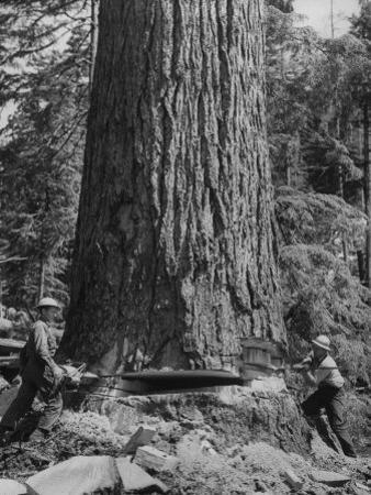 Excellent Set Showing Lumberjacks Working in the Forests, Sawing and Chopping Trees by J. R. Eyerman