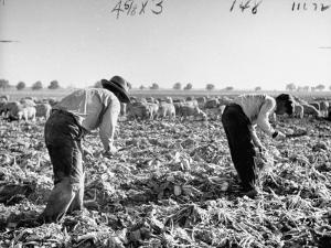 Mexican Farm Workers Harvesting Beets by J. R. Eyerman