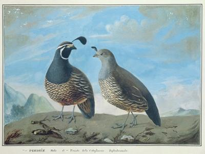 Male and Female Californian Partridge, from Voyage de La Perouse by J.r Prevost
