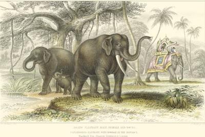 Asiatic Elephants