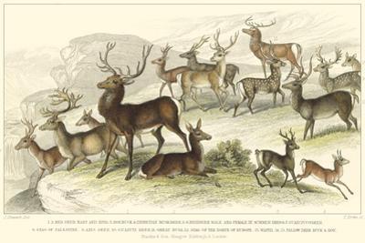 Deer Varieties
