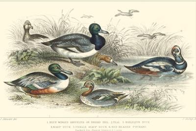 Duck Varieties