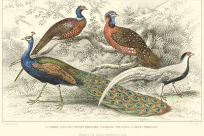 Peacock & Pheasants