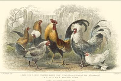Roosters & Hens