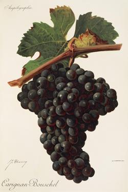 Carigna-Bouschet Grape by J. Troncy