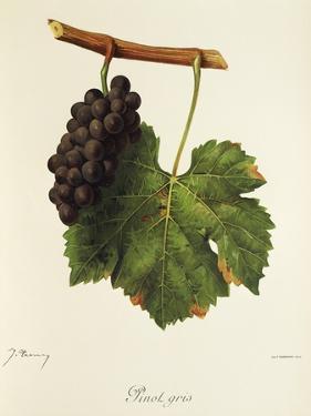 Pinot Gris Grape by J. Troncy