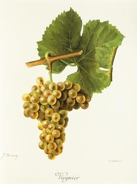 Viognier Grape by J. Troncy