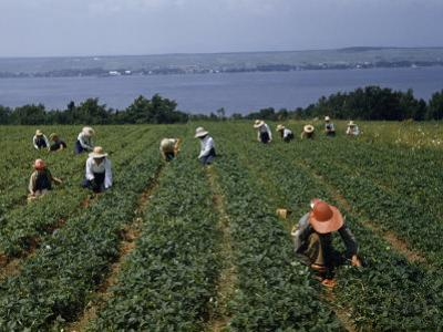 Pickers in Wide-Brimmed Hats Harvest Strawberries in a Field
