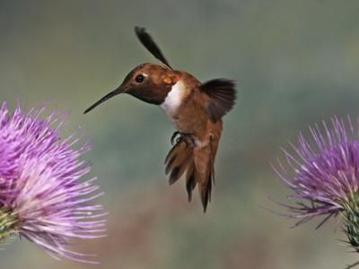 A Rufous Hummingbird Hovering at a Thistle Flower (Selasphorus Rufus), New Mexico, USA