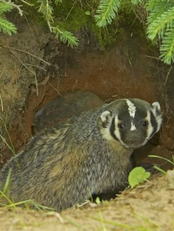 American Badger at its Den Opening, Taxidea Taxus, North America by Jack Michanowski