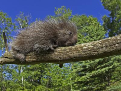 Baby Porcupine on a Tree Branch, Erethizon Dorsatum, North America
