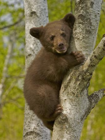 Black Bear, Ursus Americanus, Female Cub in a Tree, North America