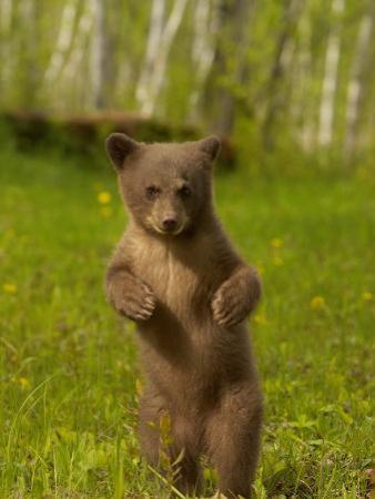 Black Bear, Ursus Americanus, Female Cub Standing Upright, North America