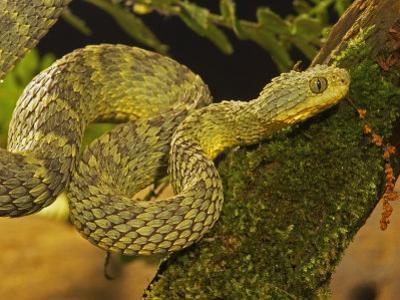 Bush Viper, Atheris Squamiger