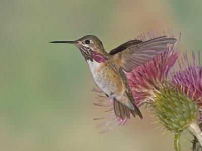 Calliope Hummingbird (Stellula Calliope).Male.Smallest Hummingbird Which Migrates to United States