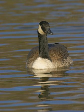 Canada Goose Swimming, Branta Canadensis, North America