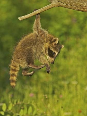 Common Raccoon (Procyon Lotor).Juvenile