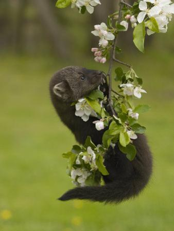 Fisher, Martes Pennanti, Juvenile Hanging from a Flowering Tree Branch, North America by Jack Michanowski