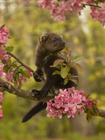 Fisher, Martes Pennanti, Juvenile in a Flowering Tree, North America by Jack Michanowski