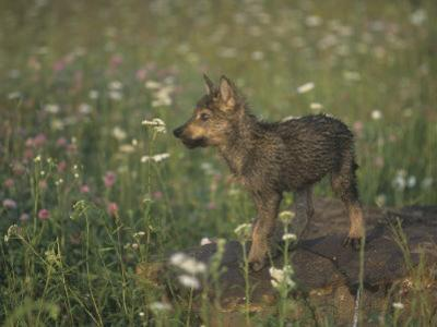 Gray Wolf Pup in a Meadow, Canis Lupus, North America