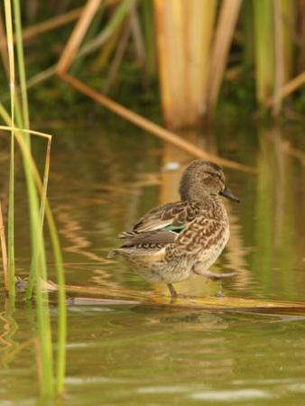 Green-Winged Teal (Anas Crecca) Female by Jack Michanowski