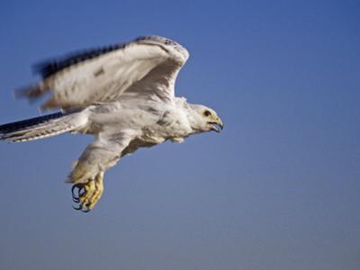 Gyrfalcon, Falco Rusticolus, White Morph, in Flight, North America