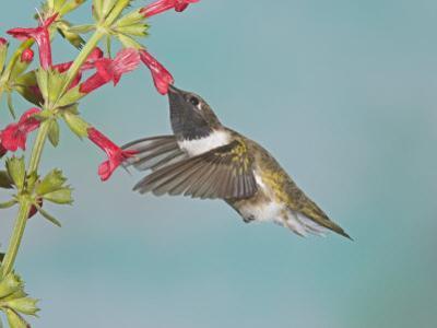 Male Black-Chinned Hummingbird, Archilochus Alexandri, Nectaring at a Flower, Western USA